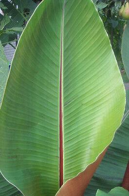 1000 Banana Seeds - Musa sikkimensis - Darjeeling - Wholesale