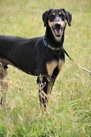 Saluki Cross available for adoption