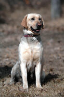 Reg CKC Labrador Retriever Gundogs