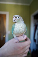 BEAUTIFUL TURQUOISE BLUE PINEAPPLE BABY CONURE