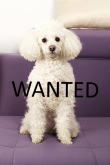 Wanted: WANTED: Poodle or Poodle X or Silky Terrier 1-4 yrs