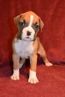 Gorgeous Boxer Puppies