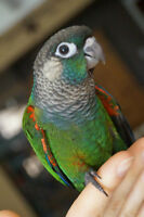 BABY PEARLY CONURE BABY SALE