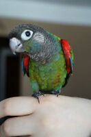 BABY PEARLY CONURE SALE