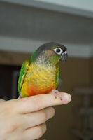 BABY YELLOW SIDED CONURES ON SALE