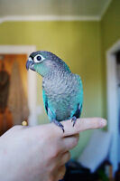 TURQUOISE GREEN CHEEK CONURE BABIES