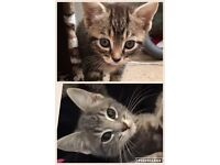 2 beautiful tabby (inc a silver/grey) kittens ONLY TABBY AVAILABLE