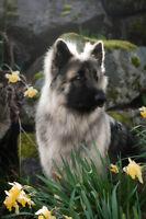 Shiloh Shepherd Pups !