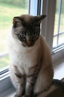 Siamese cat free to good home