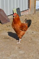 Ameracauna Rooster for sale