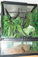 2 Whites Tree frogs for sale with enclosure