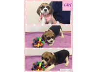 Beagle x Puggle puppies for sale