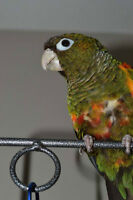 Fiery Shoulder Conure