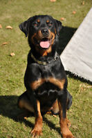 CKC female rottweiler with breeding rights