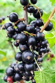 Blackcurrant Bushes for Sale