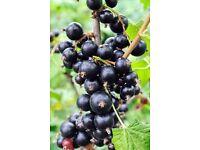 Blackcurrant Bushes for Sale