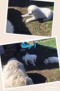 Great Pyrenees Cross Puppies PRICE REDUCED
