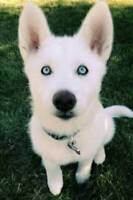 Looking to buy a Siberian Husky