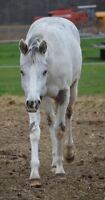 Steely looking for a new adventure 2 year old Appaloosa