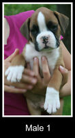 BOXER PUPPIES - QUALITY - SHORT NOSE - 2 MALES LEFT