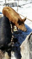 Tamworth Boar, Berkshire Sow and Cross Female Piglet For Sale