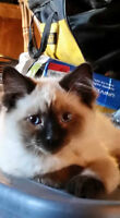 *REDUCED* BALINESE (long haired Siamese) kittens HYPOALLERGENIC