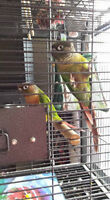 2 conures + Cage seulement 500$!!