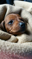 miniature dachshund male puppies