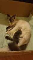 Hi I have Ragdoll female adult and 3 kittens Needs to go Home