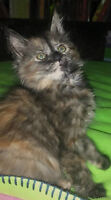 Chaton pour adoption - Miss Nesbitt