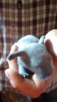 I have 5 very sweet holland lop bunnies for sale. Asking $35.00