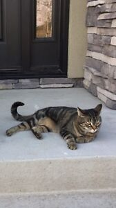 Missing cat with blue diamond studded collar