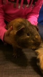 Two bonded male guinea pigs need a loving home London Ontario image 2