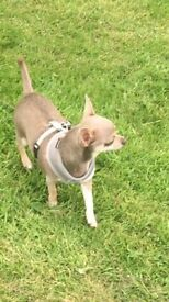 16 month lilac chihuahua