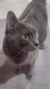 """Young Female Cat - Domestic Short Hair (Gray): """"Hannah"""""""
