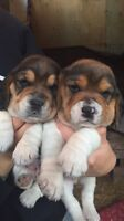 Beagle Puppies available (purebred)