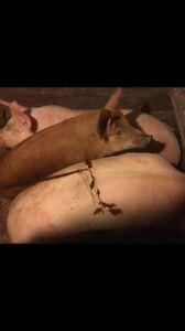 Viande de porc  porc meat