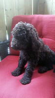 F1B LABRADOODLE PUPPIES – CHOCOLATE, APRICOT and CREAM M/F