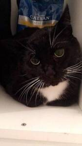 AC0309: Pulp - CAT for ADOPTION- Vet work included Maylands Bayswater Area Preview