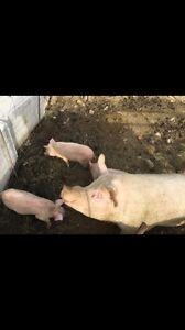 Little pigs forsale  Belleville Belleville Area image 1