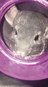 Re-homing my chinchilla. No cage included.