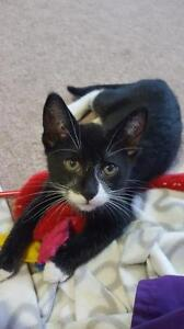 """Young Male Cat - Domestic Medium Hair-black and white: """"Loki"""""""