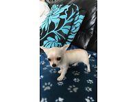 Cream and white chihuahua boy puppy