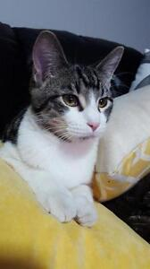 "Young Male Cat - Domestic Short Hair: ""Percy"""