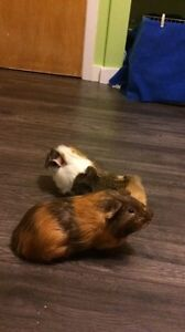 Two bonded male guinea pigs need a loving home London Ontario image 1