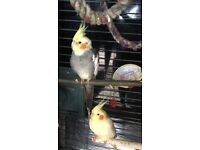 Cockatiels for sale they are a pair