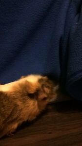 Two bonded male guinea pigs need a loving home London Ontario image 3
