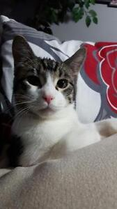 """Young Male Cat - Domestic Short Hair: """"Percy"""" Strathcona County Edmonton Area image 3"""