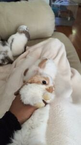 3month baby Holland lops