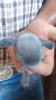 2 very sweet holland lop bunnies asking $35.00 obo